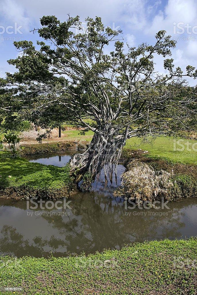 Hawaiian Banyan tree stock photo