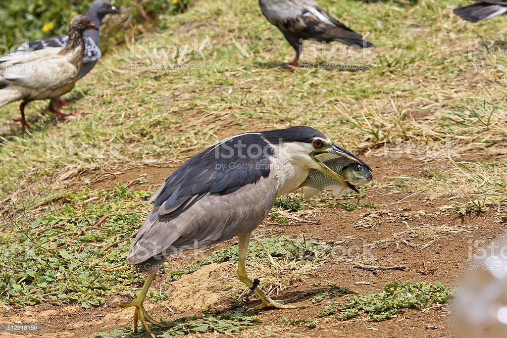 Hawaiian Black-crowned Night Heron (Auku'u) Takes A Fish stock photo