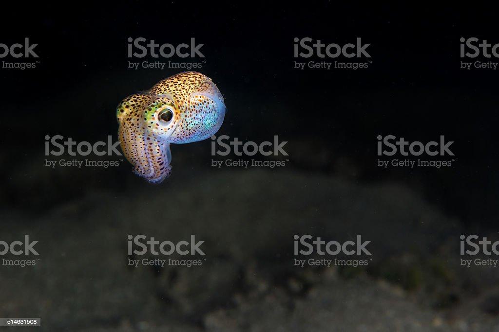 Hawaiian Bobtail Squid stock photo