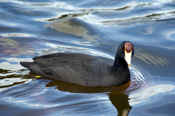 Hawaiian coot (Fulica alai) birds in a pond Hawaiian coot (Fulica alai) birds in a pond coot stock pictures, royalty-free photos & images