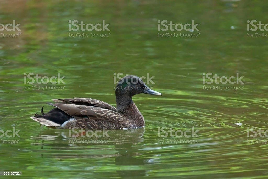 Hawaiian Duck or Koloa, Anas wyvilliana, swimming stock photo