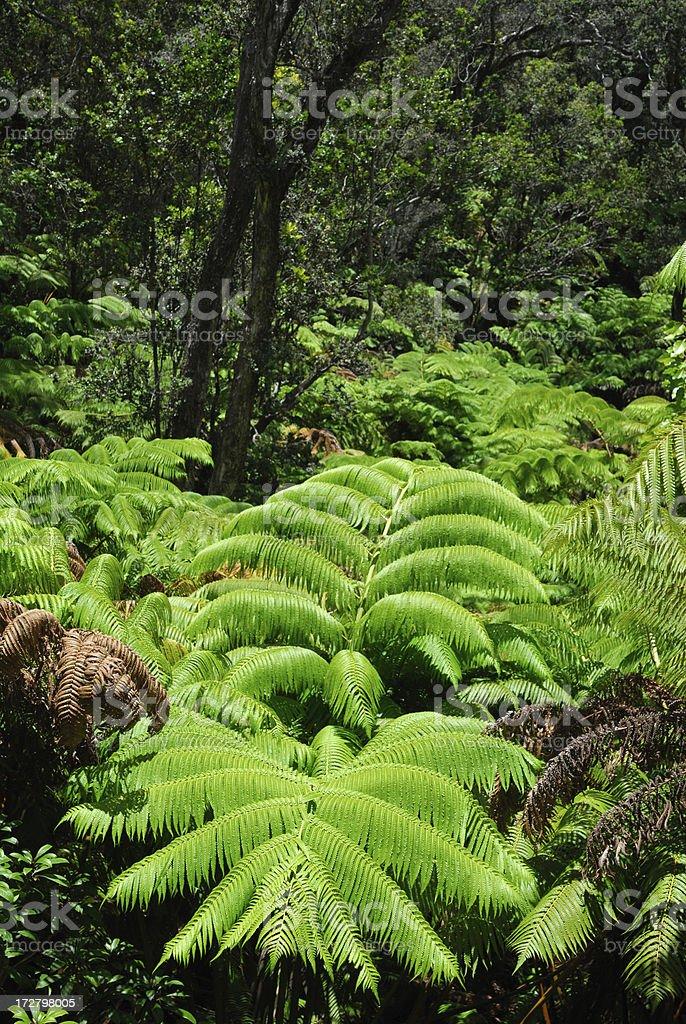 Hawaiian Ferns royalty-free stock photo