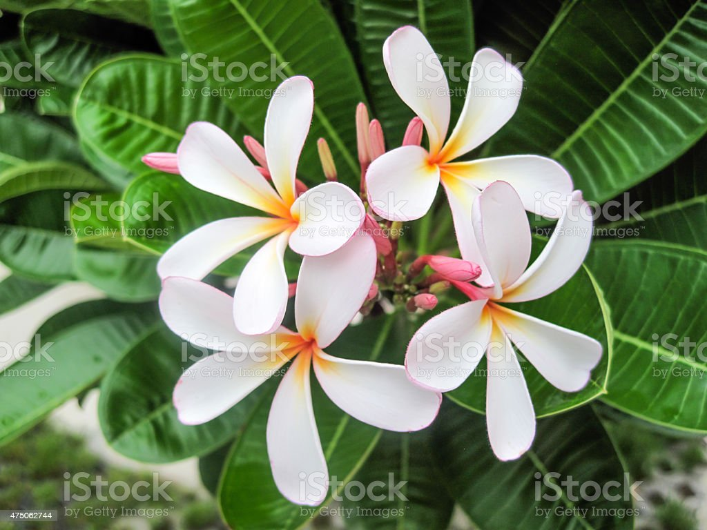Hawaiian flowers stock photo more pictures of 1960 istock hawaiian flowers royalty free stock photo only from istock izmirmasajfo