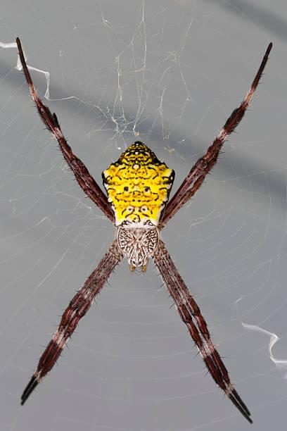 Hawaiian Garden Spider Argiope Appensa stock photo