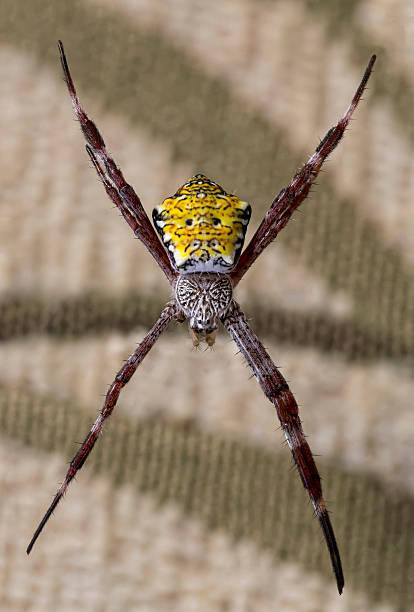 Hawaiian Garden Spider stock photo