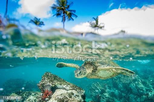Charismatic megafauna and ambassador of Hawaiian reefs are the green sea turtle