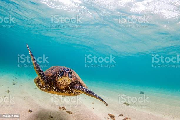 Hawaiian green sea turtle picture id506395106?b=1&k=6&m=506395106&s=612x612&h=p rdnuqlxy1vdugydoezqh9l5t2cbg fvhicj1zzili=