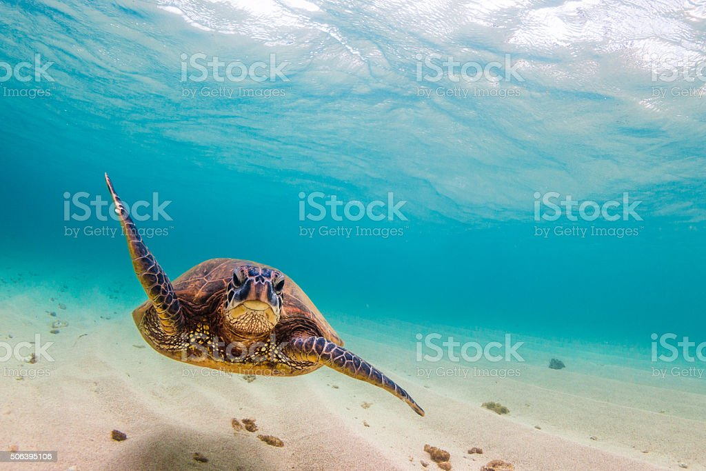 ハワイ緑海亀 ストックフォト