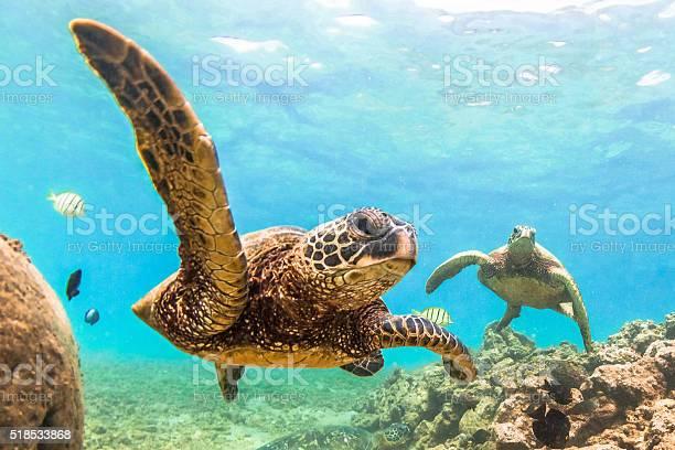 Hawaiian green sea turtle picture id518533868?b=1&k=6&m=518533868&s=612x612&h=knyt3dz4l6rddru3j2 xjawbeoael7vkxcjrew6y7b8=