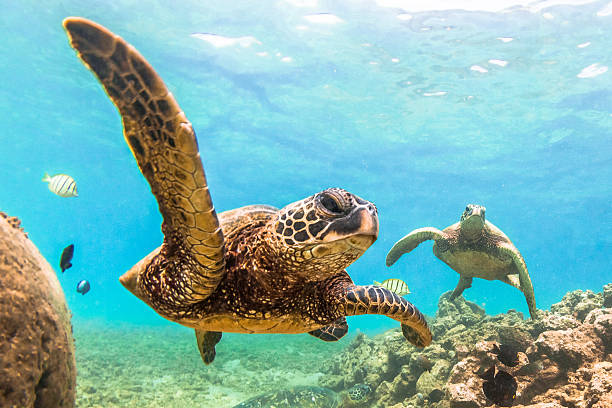 Hawaiian Green Sea Turtle A Hawaiian Green Sea Turtle cruises in the warm waters of the Pacific Ocean of Hawaii oceania stock pictures, royalty-free photos & images