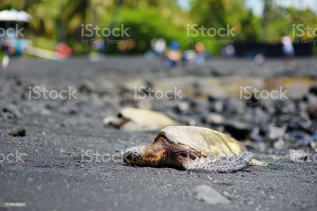 Hawaiian green turtles relaxing at Punaluu Black Sand Beach on the Big Island of Hawaii stock photo