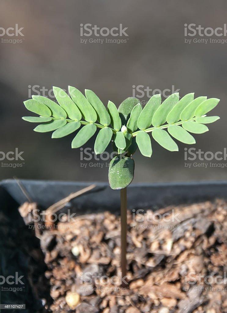 Hawaiian koa tree seedling stock photo