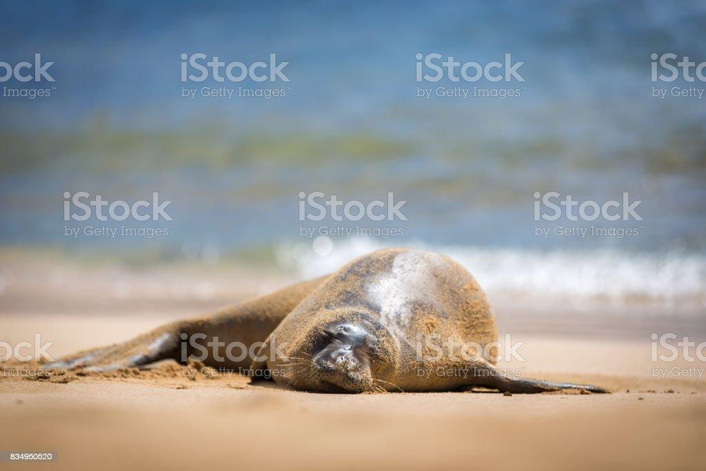 Hawaiian Monk Seal stock photo