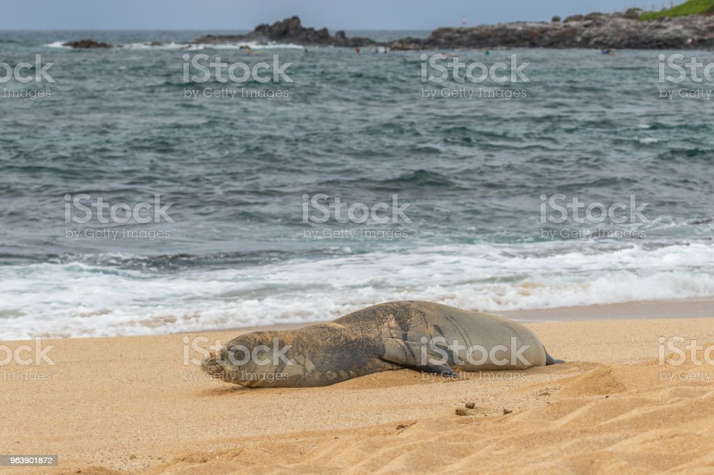 Hawaiian Monk Seal - Royalty-free Animal Stock Photo