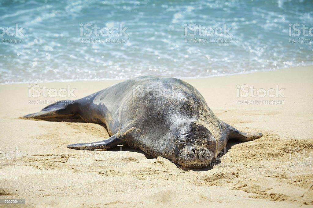 Foca monaca hawaiana dormire sulla spiaggia sabbiosa di for Piani di piantagione hawaiana