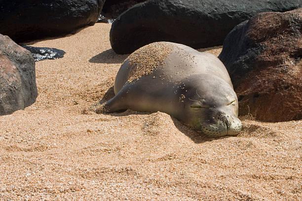 Hawaiian Monk Seal Sleeping stock photo