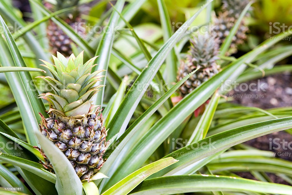 Hawaiian Pineapples stock photo