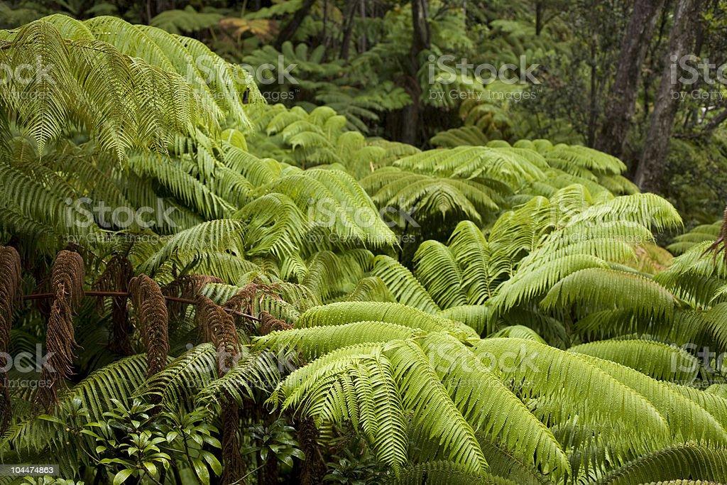 Hawaiian Rainforest Ferns stock photo