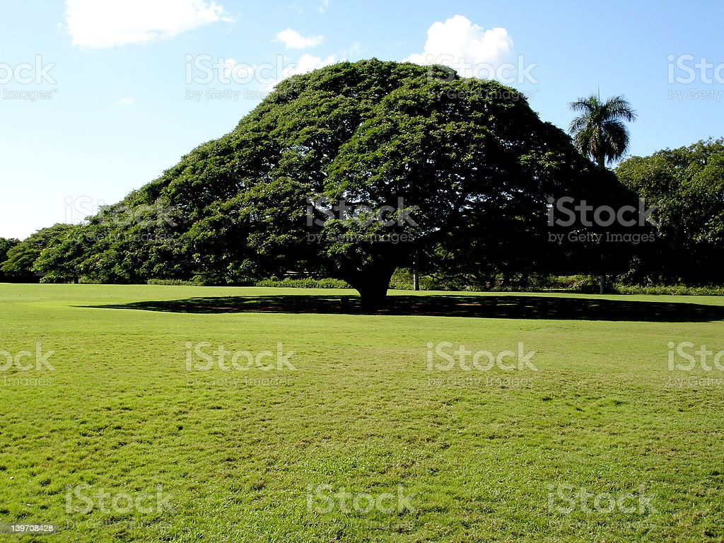 Hawaiian Savannah Tree stock photo