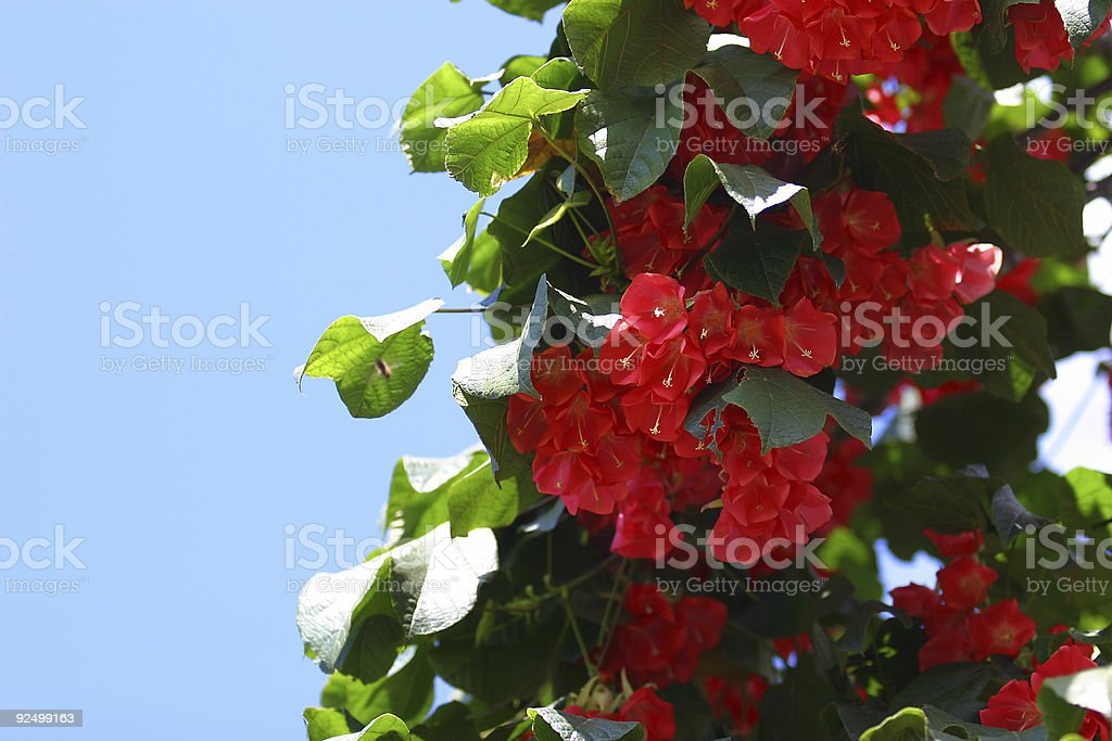 Hawaiian Scarlet royalty-free stock photo