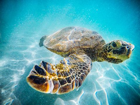 Underwater shot of a Hawaiian Sea Turtle