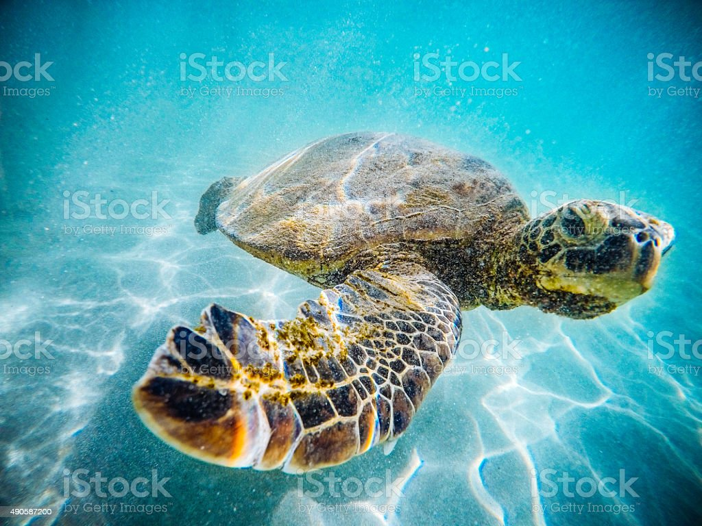 Hawaiian Sea Turtle stock photo