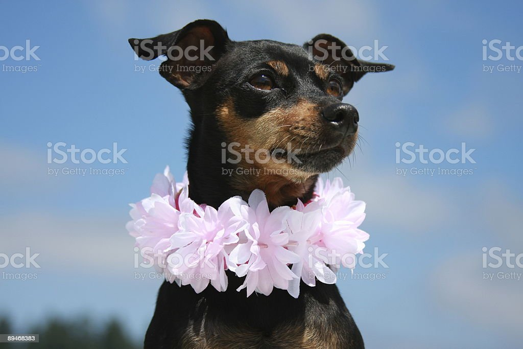 Hawaiian Haku royalty-free stock photo