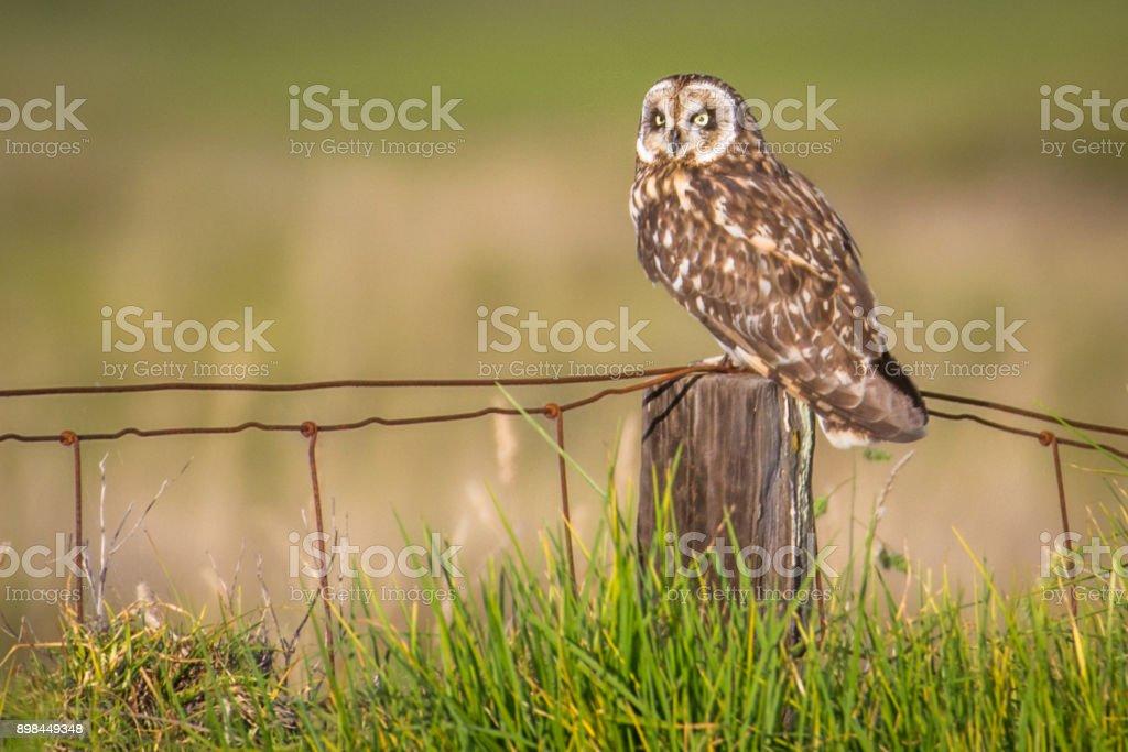 Hawaiian Short-Ear Owl (aka Pueo) stock photo