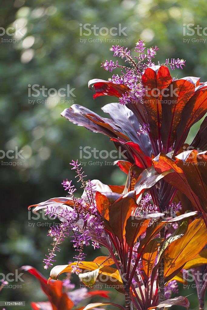 Hawaiian Ti Plant, Maui stock photo