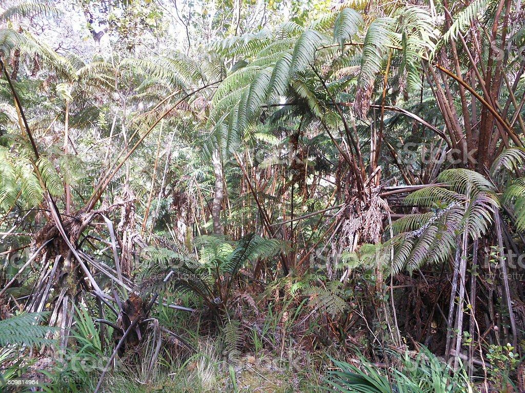 Hawaiian Tree Fern Plants at Hawaii Volcanoes National Park. stock photo