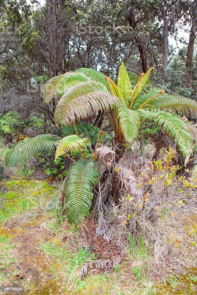 Hawaiian tree ferns stock photo
