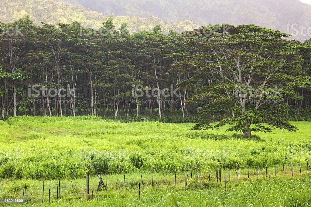 Hawaiian Trees stock photo