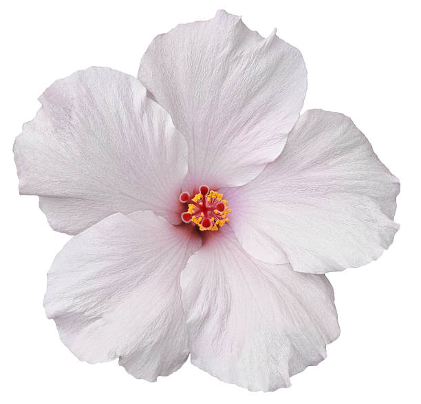 Hawaiian White Hibiscus isolated Delicate, white hibiscus flower found on the Big Island of Hawaii. Isolated on white makes for easy clipping path. neicebird stock pictures, royalty-free photos & images