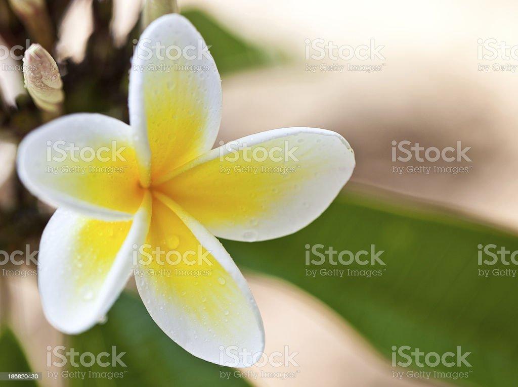Hawaiian yellow plumeria stock photo