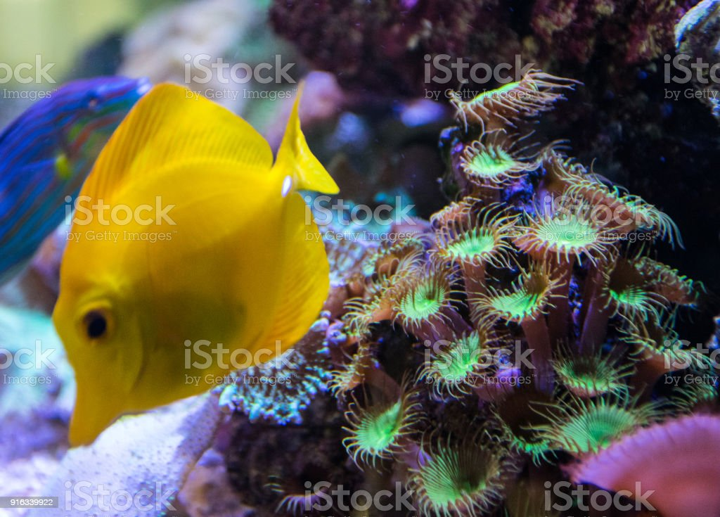 Fotografía de Pez Tang Amarillo Hawaiano Con Arrecife De Coral ...
