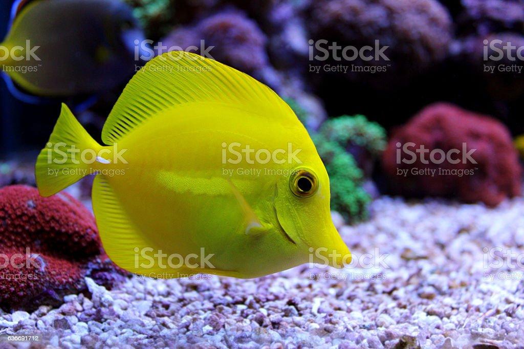 Hawaiian yellow tang stock photo