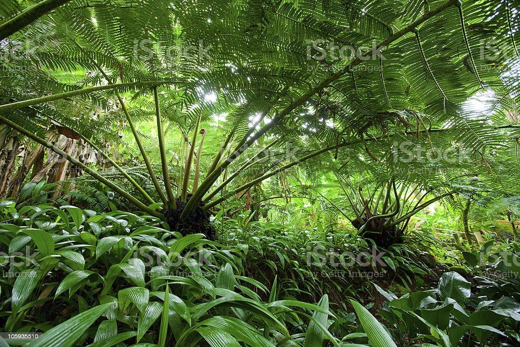 Hawaiin tree fern in rain forest royalty-free stock photo