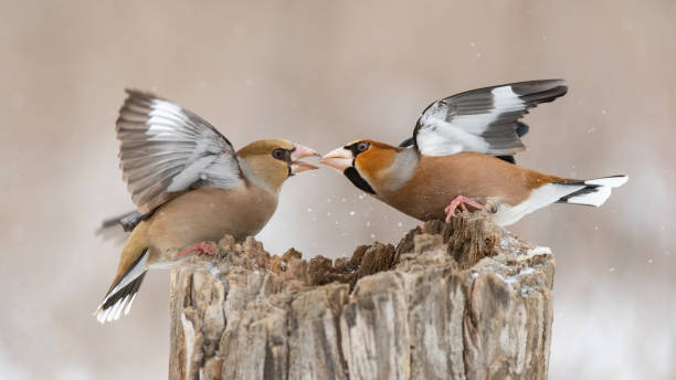 Hawfinch Coccothraustes coccothraustes. Two birds are fighting on a feeder in the forest stock photo