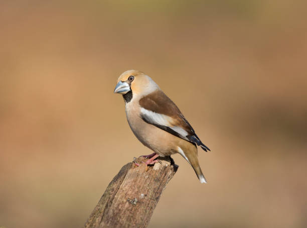 Hawfinch perched in the Forest Of Dean Gloucestershire. stock photo