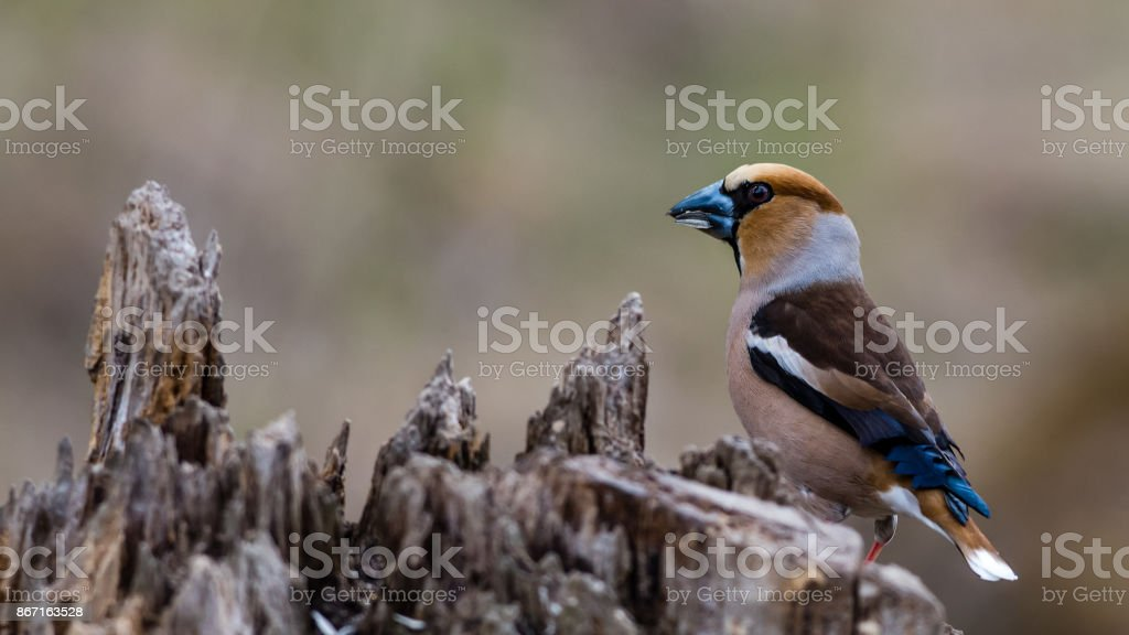 Hawfinch perching stock photo