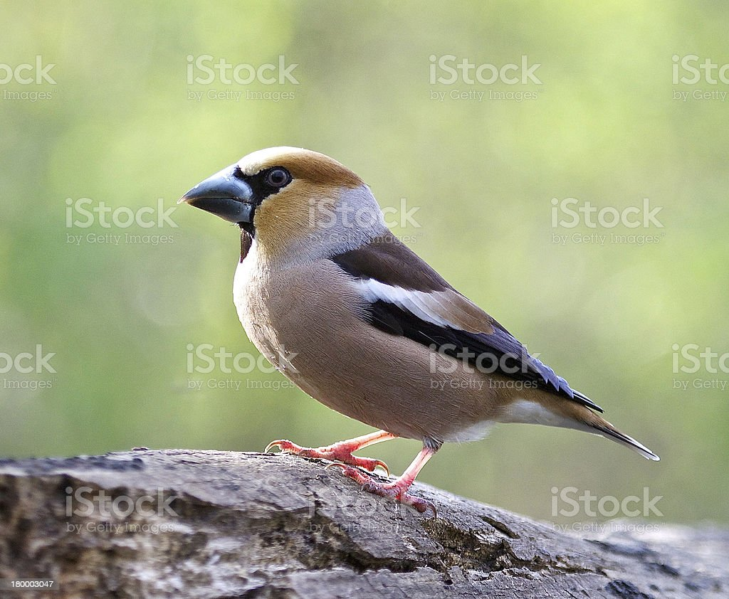Hawfinch royalty-free 스톡 사진