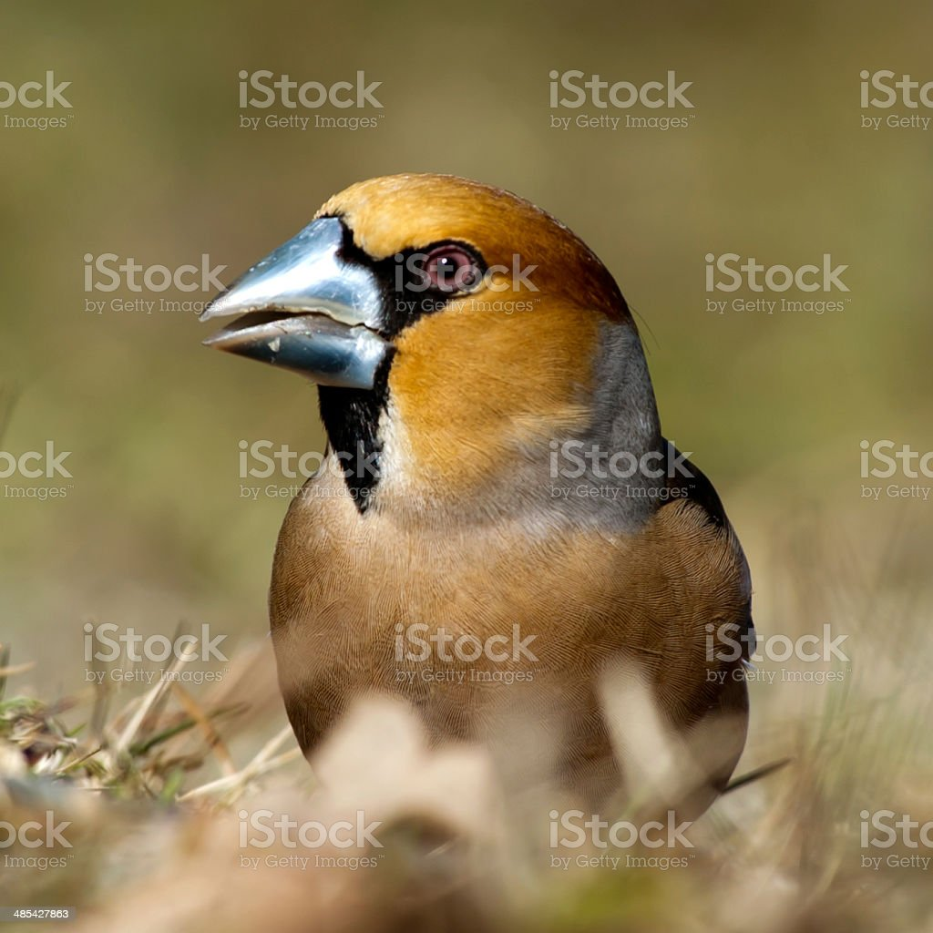 Hawfinch Portrait stock photo