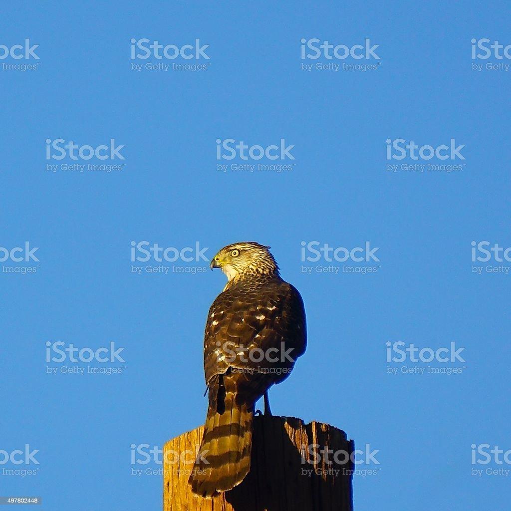 Hawk and Blue Sky stock photo