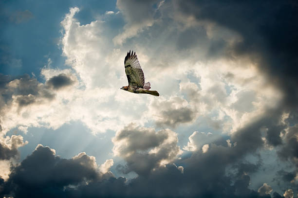 hawk and moody sky with dark clouds forming - hawk bird stock photos and pictures