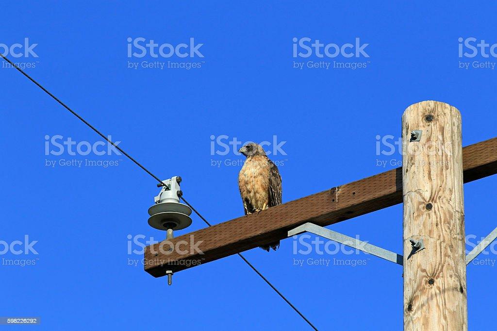 Hawk bird of prey hunting from perch foto royalty-free
