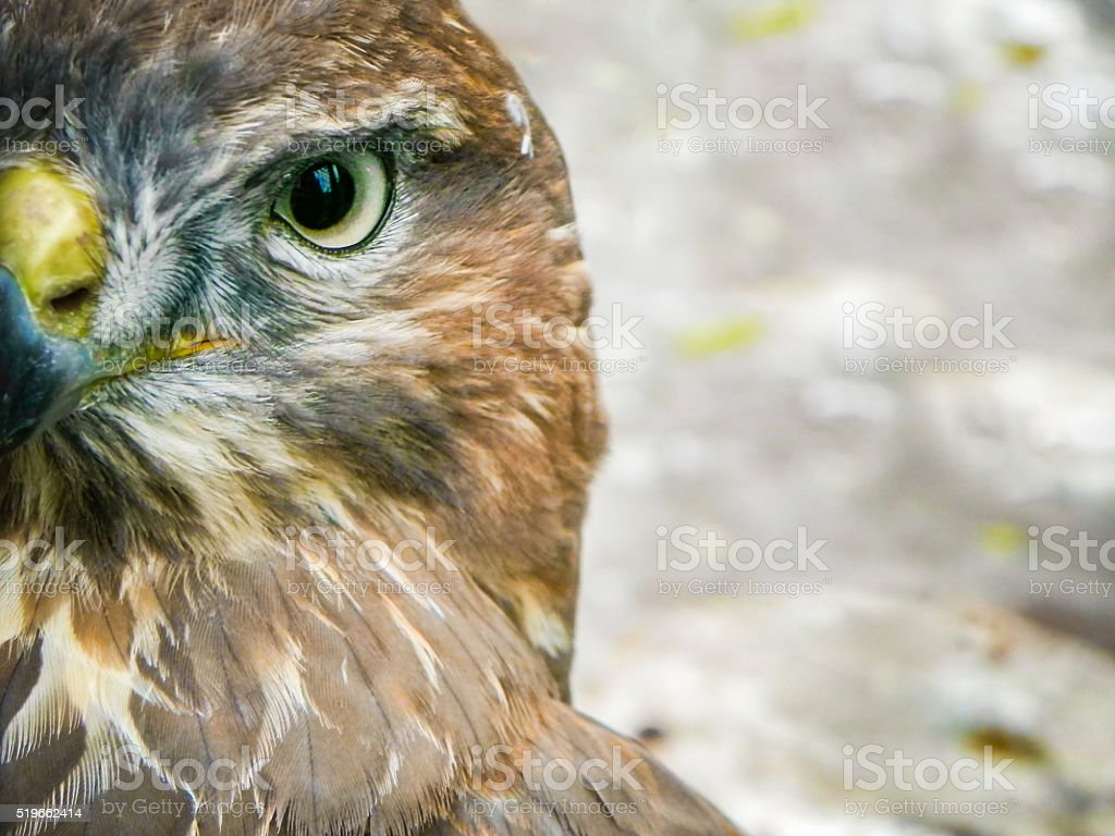 hawk portrait-hawk eye oiseau - Photo