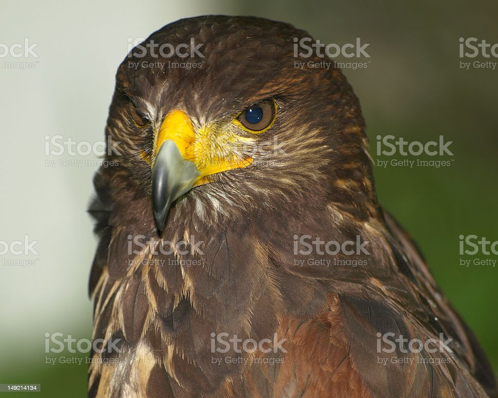 Hawk - brown with yellow beak royalty-free stock photo