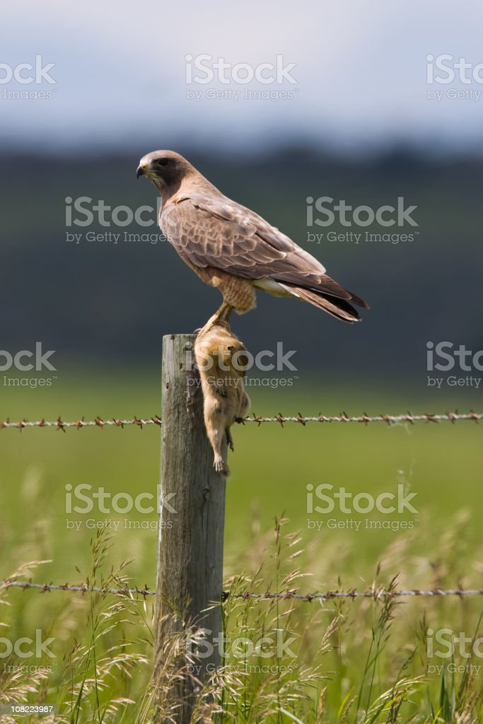 Hawk Carrying Prey and Perching on Rural Fence royalty-free stock photo