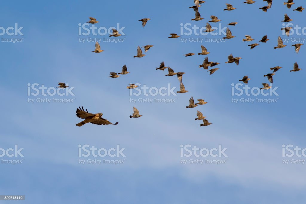 Hawk chasing a flock of birds at dusk stock photo