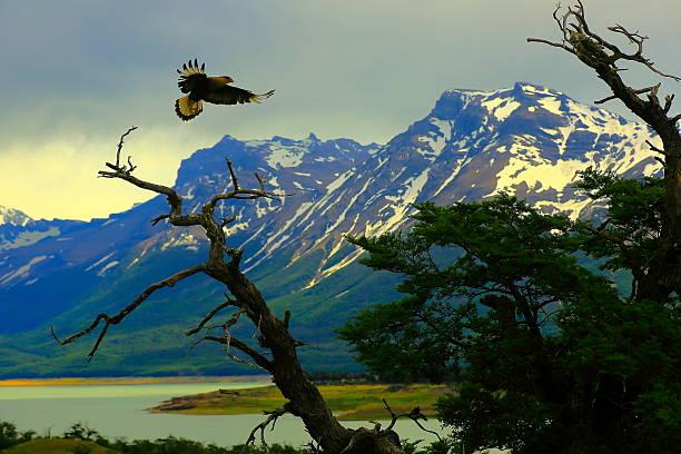hawk flying, patagonia argentina near el calafate, perito moreno glacier - falcon bird stock photos and pictures